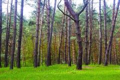 春天杉木森林 库存图片
