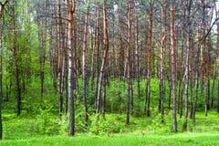 春天杉木森林 免版税库存图片