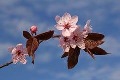 春天李子花的枝杈 库存图片