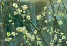 春天杨柳样式 库存照片