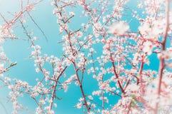 春天果树分支与芽和花在蓝天背景在庭院或公园里 免版税库存照片