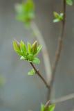 春天柔和的叶子、芽和分支 免版税库存图片