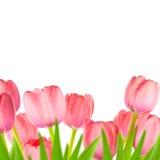 春天柔和的浅粉红色的郁金香边界, 免版税库存图片