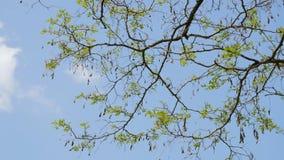春天树分支在蓝天的 股票录像