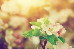 春天树开花开花,在温暖的太阳的绽放 葡萄酒 免版税库存照片