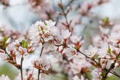 春天树枝白花宏指令视图 软的焦点石头城樱桃,李属tomentosa 落叶灌木宏指令视图 库存照片