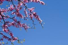 春天桃红色开花的树 免版税库存图片