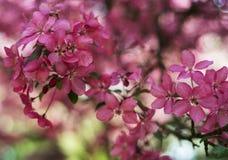 春天桃红色开花 免版税库存图片