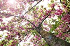 春天桃红色开花 库存图片