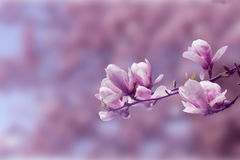 春天桃红色树 库存照片