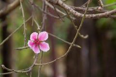 春天桃红色樱桃绽放 库存照片