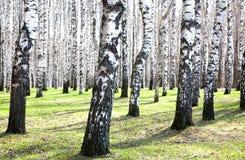 春天桦树在阳光下 免版税库存图片
