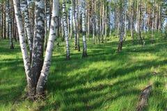 春天桦树木头在一个晴天 图库摄影