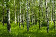 春天桦树树丛 库存照片