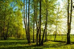 春天桦树树丛 免版税库存照片
