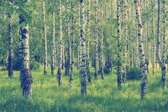 春天桦树树丛 免版税图库摄影