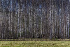 春天桦树森林 库存照片