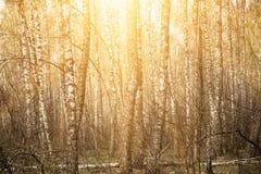 春天桦树森林 免版税库存图片