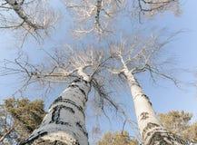 春天桦树 神色到天空里 图库摄影
