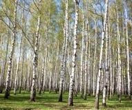 春天桦树 图库摄影