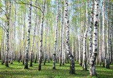 春天桦树 库存图片