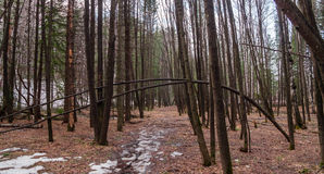 春天森林在新西伯利亚Akademgorodok 免版税库存照片