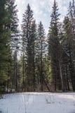 春天森林在新西伯利亚Akademgorodok 免版税图库摄影