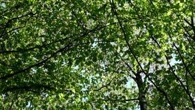春天森林的树的冠 影视素材