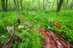 春天森林风景伊利诺伊 图库摄影