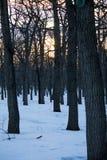 春天森林,光秃的树干 库存照片