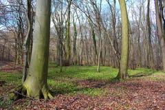 春天森林-早期的春天在森林里,没有叶子,野生蒜绿色叶子的树在地面上的 库存照片
