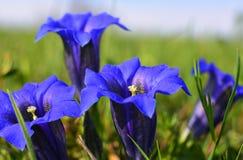 春天概念蓝色美丽的花 免版税库存照片