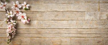 春天横幅,杏仁开花在木地板上的花 免版税库存图片