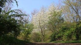 春天樱桃开花与绿色叶子 库存图片