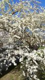 春天樱桃树垂直照片 库存图片