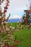 春天樱桃树开花登上Egmont,新西兰 库存照片
