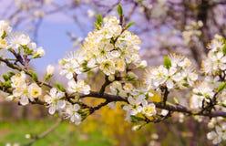 春天樱桃树 免版税库存照片