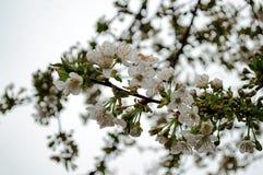 春天樱桃花  库存图片