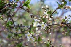 春天樱桃 库存照片