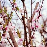 春天樱花关闭 免版税图库摄影