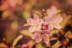 春天樱花在淡色口气的葡萄酒背景 库存照片