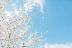 春天樱花,白花 免版税库存照片