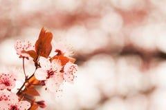 春天樱花 库存图片