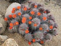 春天沙漠仙人掌花开花 免版税图库摄影