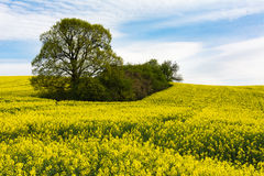 春天油菜籽 库存照片