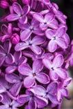 春天淡紫色紫罗兰色花的宏观图象,抽象软的花卉背景 免版税库存照片