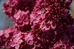 春天淡紫色紫罗兰色花花卉背景  免版税库存照片