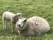 春天潜逃羊羔绵羊爱 免版税库存图片