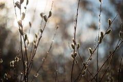 春天猫杨柳开花在阳光下与水滴  免版税图库摄影