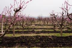 春天玫瑰色开花的桃子庭院胡同 图库摄影